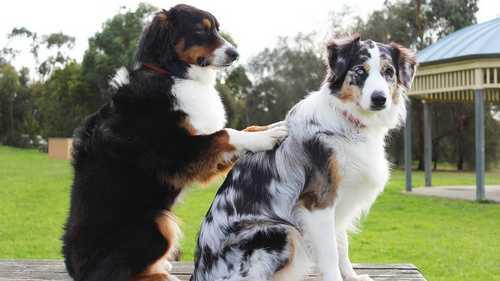 Como fazer perfume para cachorro