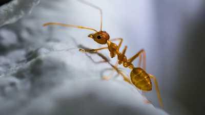 Como fazer repelente de formigas